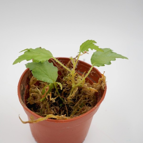 Begonia prismatocarpa close-up