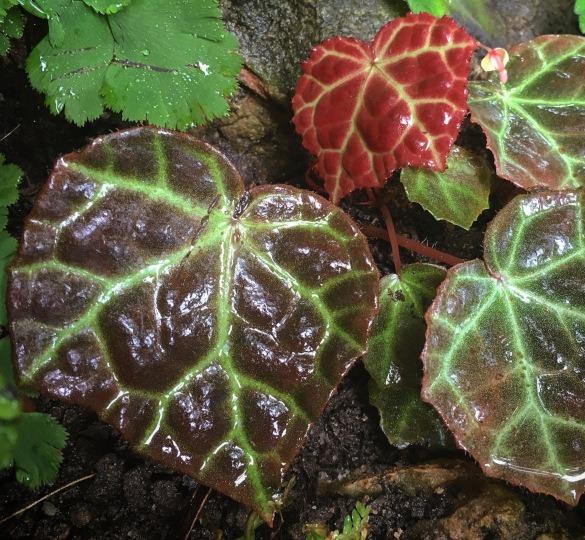 Begonia rajah in situ