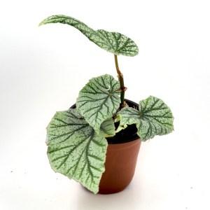 Begonia frosty product photo