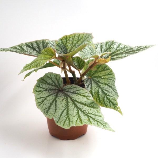Begonia sinbad 4''