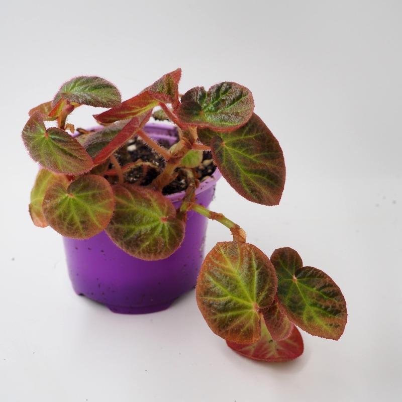 Buy Begonia manaus