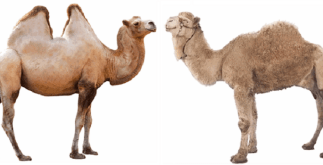10 Interesting Facts About Camel 5 Behind History