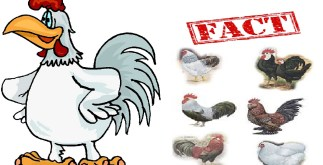 3 Chickens for Every Person Alive Today | Historic Facts 6 Behind History