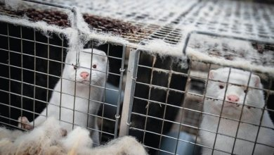"""صورة الدنمارك تعدم الملايين من حيوانات المنك بعد ظهور سلالة متحورة من """"كورونا"""" فيها."""