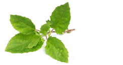 holi basil benefits
