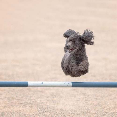 Poodle jumps over an agility hurdle in agility competition