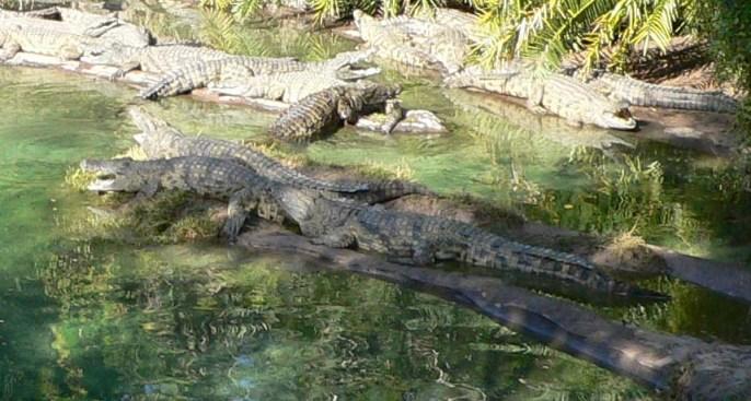 Crocodylus_niloticus