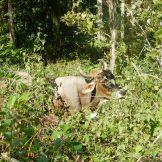 Fru Ko i skogen