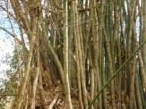 Snabbväxande bambu
