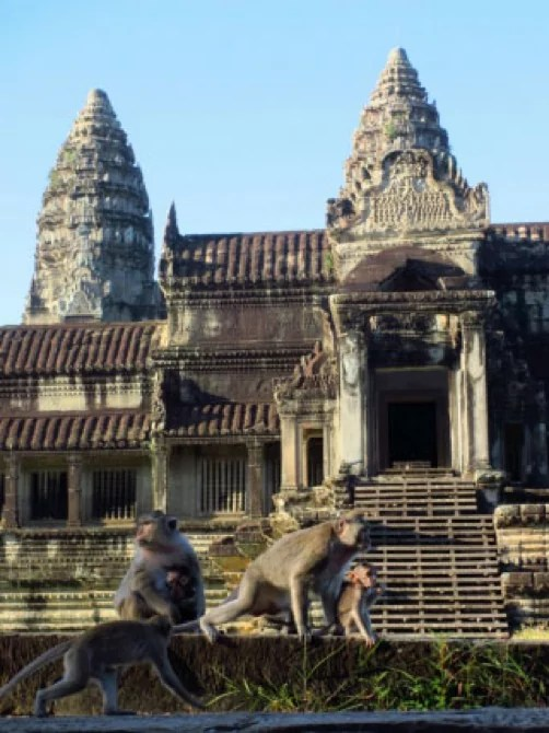 monkey Cambodia siem reap temple
