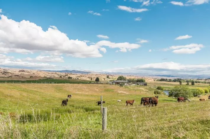 cow farm central otago new zealand landscape