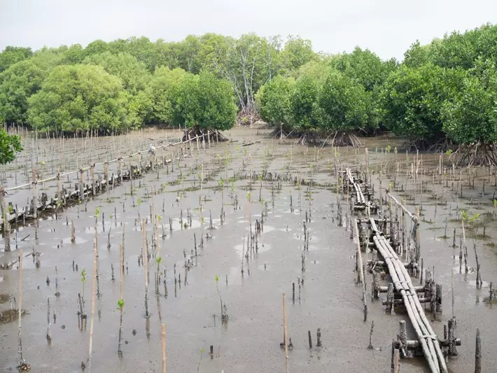 mangrove-conservation-reforestation,-Day-trips-from-Bangkok,-Thailand