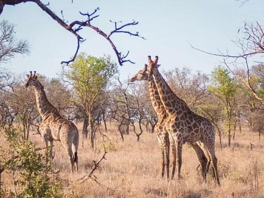 giraffe, Rhino-River-Lodge-South-Africa-safari-game-drive