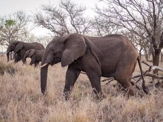 elephant, Rhino-River-Lodge-South-Africa-safari-game-drive