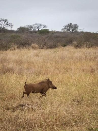 warthog, Rhino-River-Lodge-South-Africa-safari-game-drive