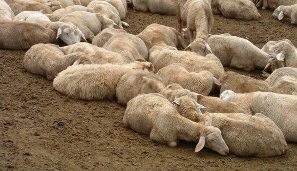 Cani randagi uccidono 19 pecore a Castelvetrano