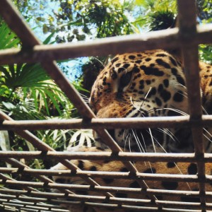jaguar at belize zoo