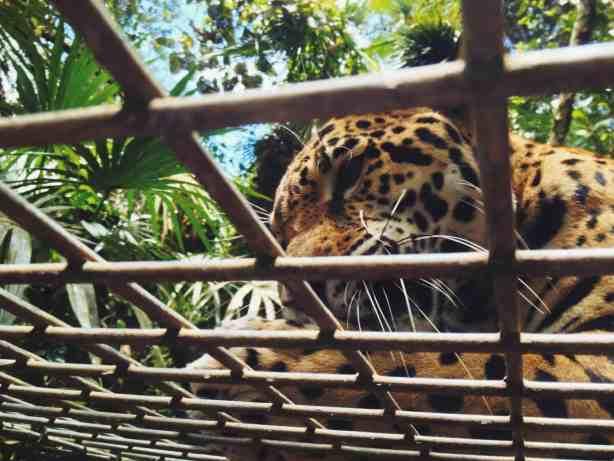 jaguar at belize zoo