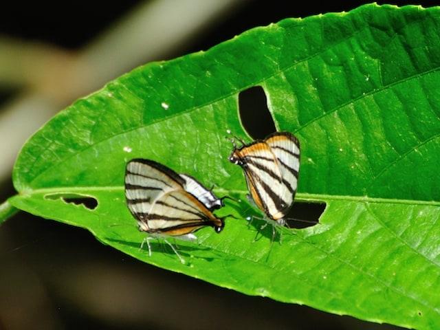 Chiapas Stripe-streak Butterfly