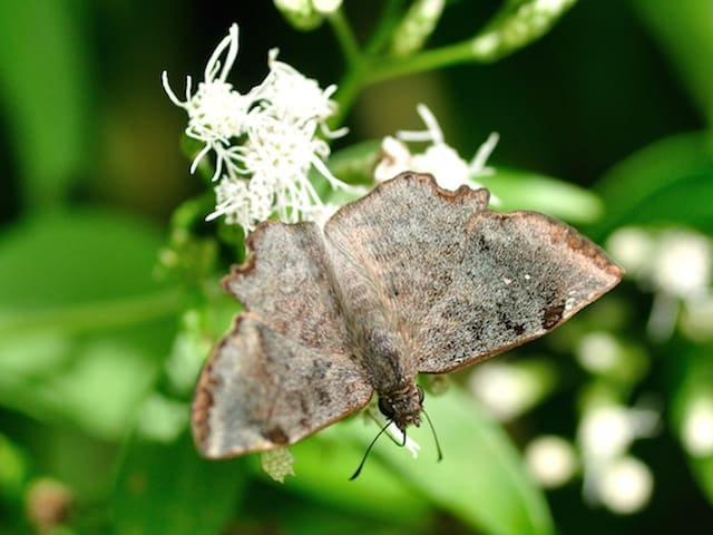 Dusted Spurwing butterfly