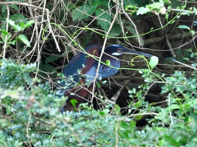 Agami Heron in Belize