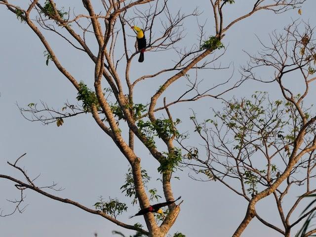 Keel-billed Toucan in Belize