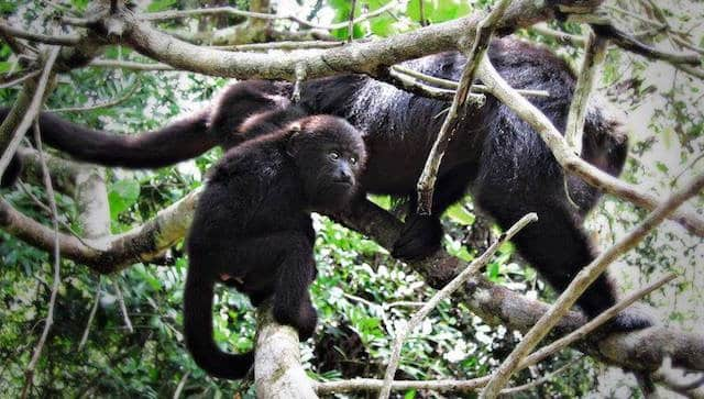 black howler monkey baby and mom