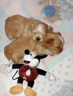 Buttercup's sleepy puppies at 3 weeks