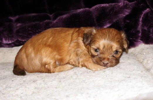 Trudie, a chocolate dilute, long coat puppy at 4 weeks