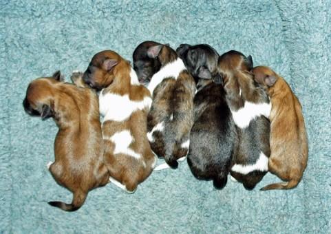 Litter of 6 newborn, smooth face, Mi-Ki puppies