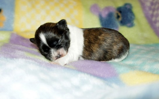 Rocket - brindle & white, long coat puppy at 1 week
