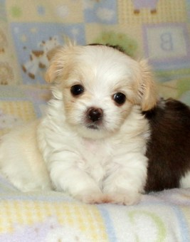 Sadie is a white & apricot Mi-Ki puppy