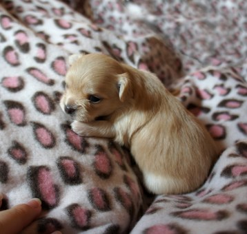 Solid cream, smooth face, female, Mi-Ki puppy at 2 weeks