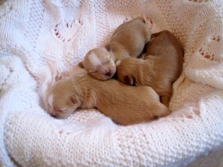 Three solid gold puppies