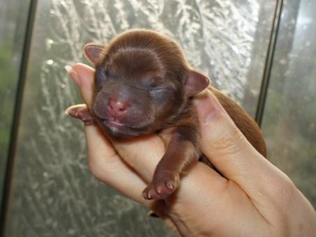 Trudie - solid chocolate newborn Mi-Ki puppy