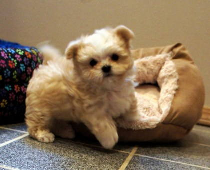 Cream long coat puppy