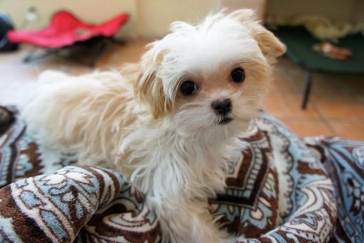 Emmy - white & apricot Mi-Ki puppy