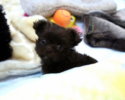 Kahve, a dark chocolate Mi-Ki, as a puppy