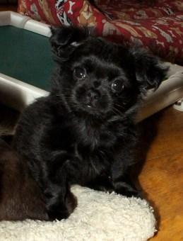 Solid black smooth coat puppy Maddie