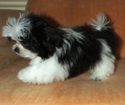 Our black & white sire, Tiberius, as a puppy