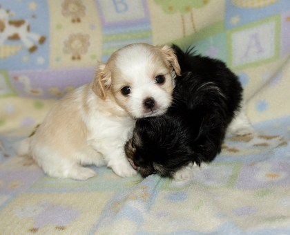White & apricot Poesy at 4 weeks