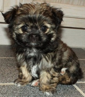 Here's solid sable, Fannie May at 8 weeks