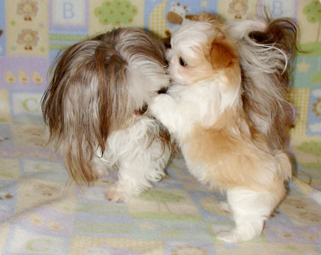 Long coat chocolate and white Mi-Ki adult playing with apricot and white puppy