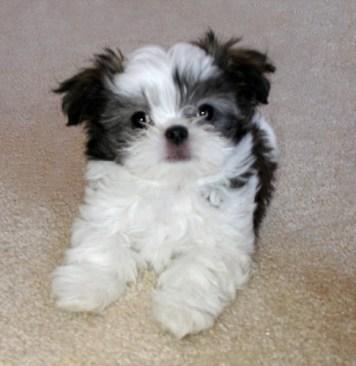 Long coat parti Mi-Ki puppy has winged or folded ears
