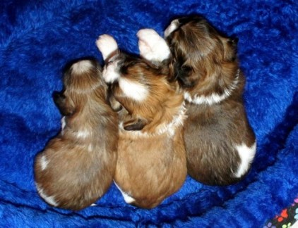Three Parti Red Sable Puppies of Different Shades