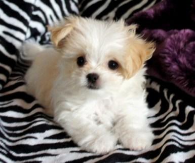White And Apricot Mi-Ki Puppy Eight Weeks