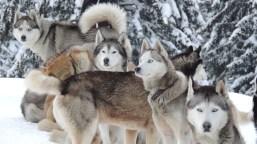 Dog Sledding in the snow