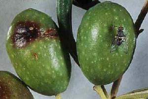 olive-colpite