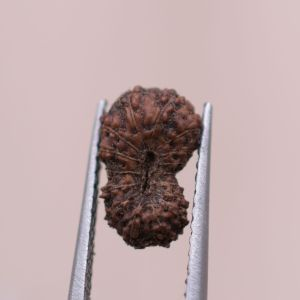 0.52 gm 6 Mukhi Rudraksha From Indonesia