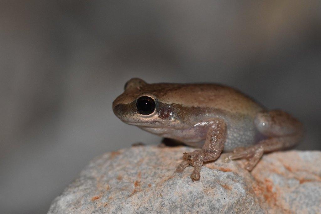 desert tree frog1
